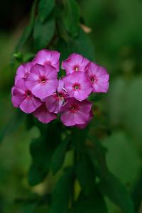 Phlox Paniculata- Summer Phlox