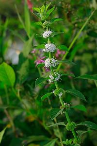 Mentha arvensis- Wild Mint
