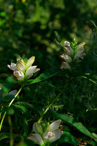 Chelone glabra- White Turtlehead