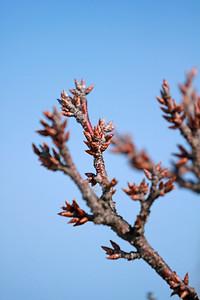Prunus maritima- Beach Plum