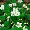 Viola striata- Cream Violet