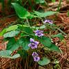Viola affinis- Sand Violet