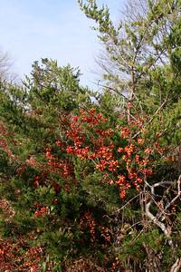 Celastrus orbiculatus- Oriental Bittersweet