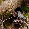 Rusty Blackbird (adult female)