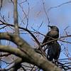 Rusty Blackbirds