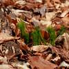 Lycopodium lucidulum- Shining Clubmoss