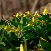 Erythronium americanum- Trout Lily