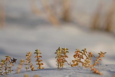 Honckenya peploides ssp. robusta- Seaside Sandplant