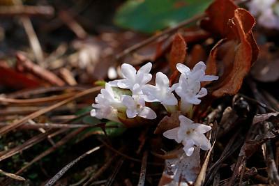 Epigaea repens- Trailing Arbutus
