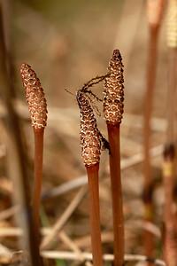 Equisetum arvense- Field Horsetail