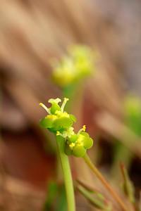 Euphorbia ipecacuanhae- Ipecac Spurge