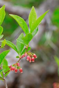 Gaylussacia bacchata- Black Huckleberry