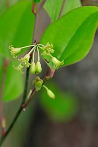 Smilax sp.- Greenbriar