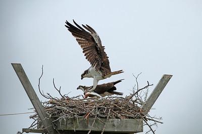 Nesting Ospreys with fish!