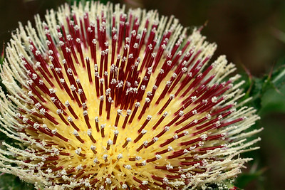 Cirsium horridulum- Yellow Thistle