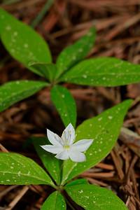 Trientalis borealis- Starflower