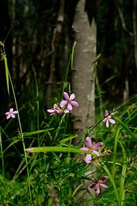 Sabatia campanulata- Slender Marsh Pink
