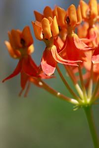 Asclepias lanceolata- Smooth Orange Milkweed