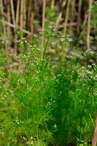 Ptilimnium capillaceum- Atlantic Mock Bishop's Weed