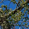 Phoradendron leucarpum- Oak Mistletoe