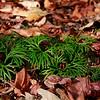 Lycopodium digitatum- Southern Ground Cedar