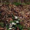 Sanguinaria canadensis- Bloodroot