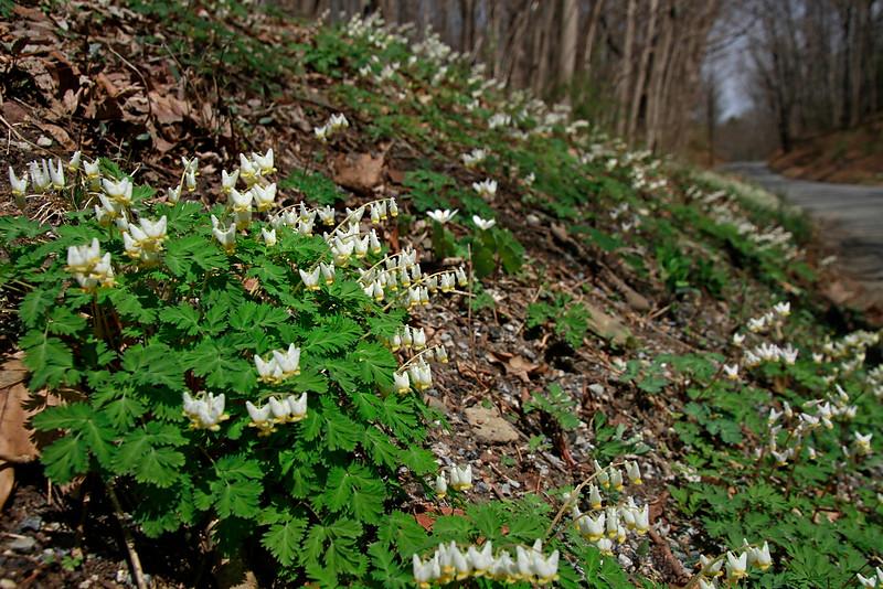 Dicentra cucullaria- Dutchman's Breeches