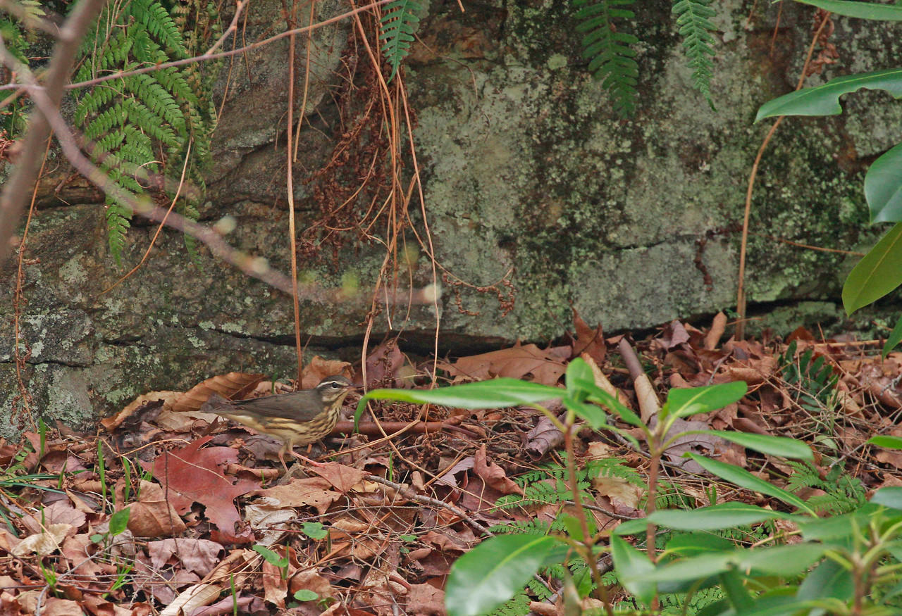 Louisiana Waterthrush and habitat
