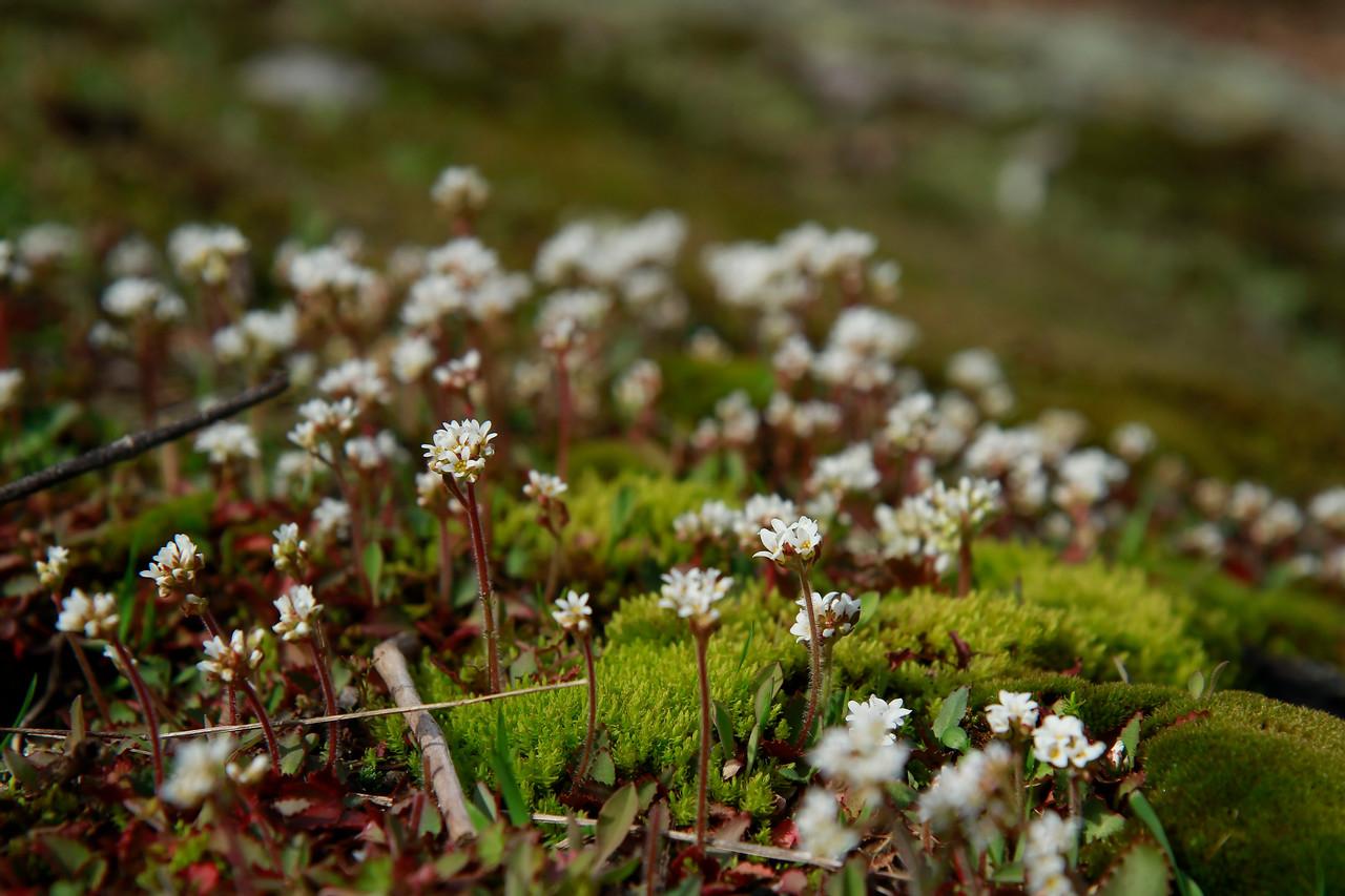 Saxifraga virginiensis- Early Saxifrage