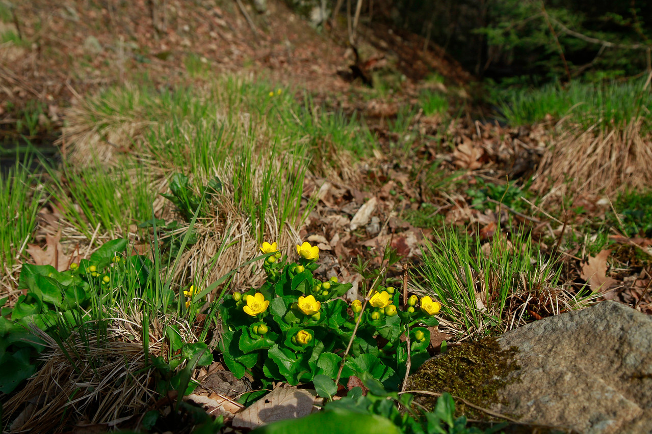 Caltha palustris- Marsh Marigold