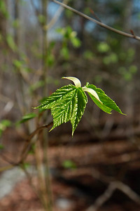 Acer pennsylvanicum- Striped Maple
