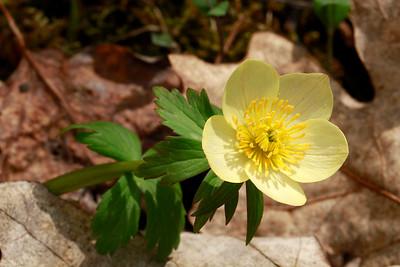 Trollius laxus- American Globeflower
