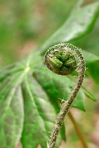 Dryopteris goldiana- Goldie's Wood Fern