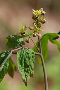 Caulophyllum thalictroides- Blue Cohosh