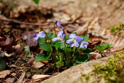 Viola conspersa- Dog Violet