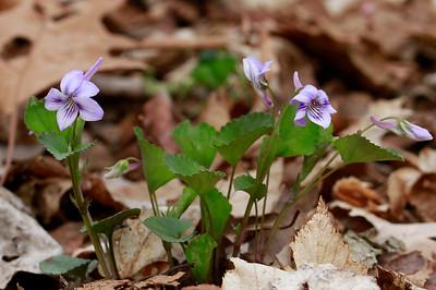 Viola rostrata- Longspur Violet