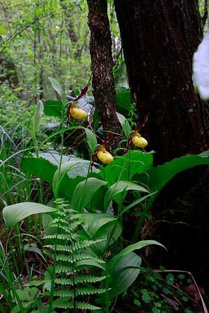 Cypripedium parviflorum var. Makasin- Small Yellow Lady's Slipper