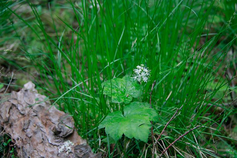 Tiarella cordifolia- Foamflower