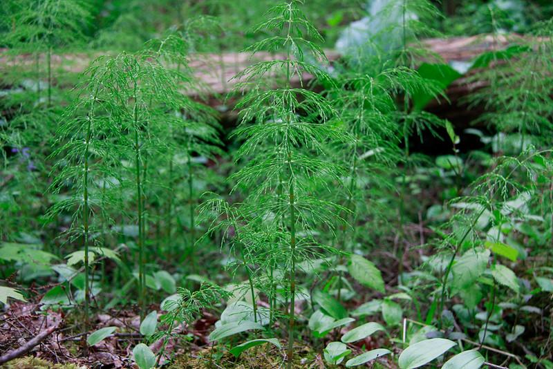 Equisetum sylvaticum- Woodland Horsetail