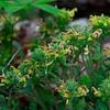 Pedicularis canadensis- Wood Betony