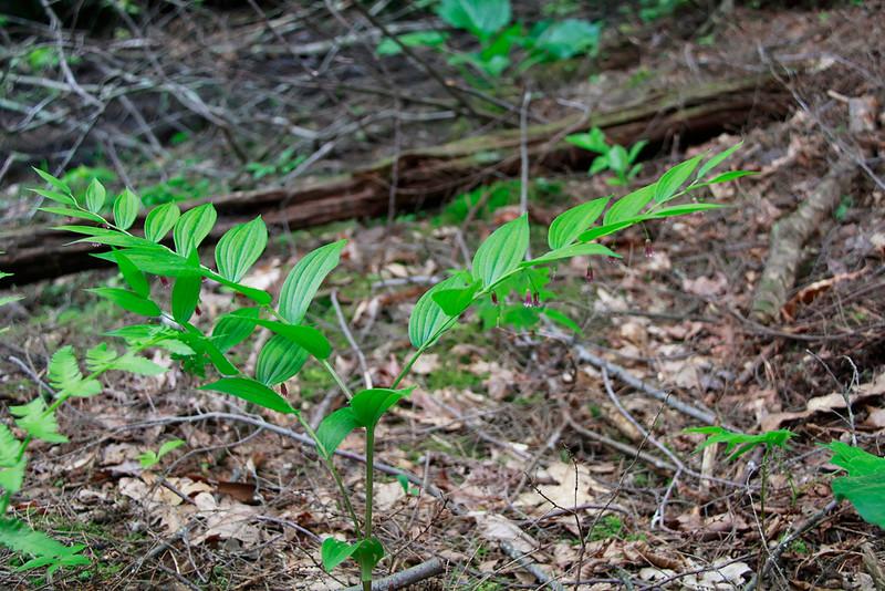 Streptopus roseus- Rose Twisted-Stalk