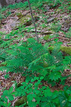 Athyrium thelypteroides-Silvery Glade Fern
