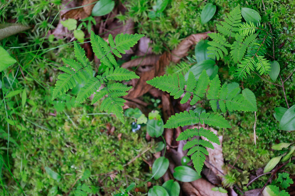 Gymnocarpium dryopteris- Oak Fern