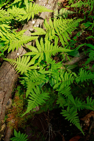 Ferns and Allies