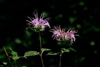 Monarda fistulosa- Wild Bergamot