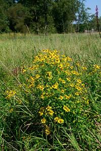 Helenium autumnale- Sneezeweed