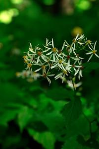Aster divaricatus- White Wood Aster