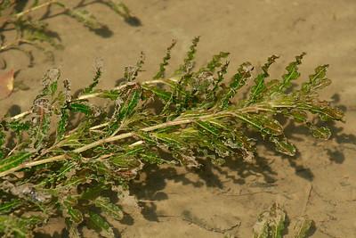 Potamogeton crispus- Curly Pondweed