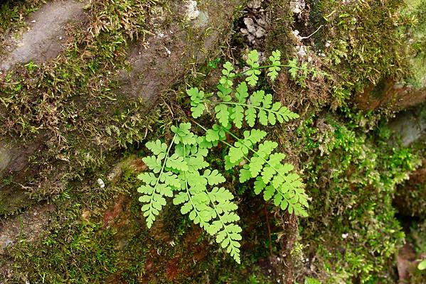 Cystopteris tenuis var. mackayi- Mackay's Fragile Fern