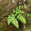 Cystopteris tenuis var. mackayi- Fragile Fern